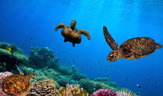 two-turtles-in-crystal-blue-water-of-galapagos