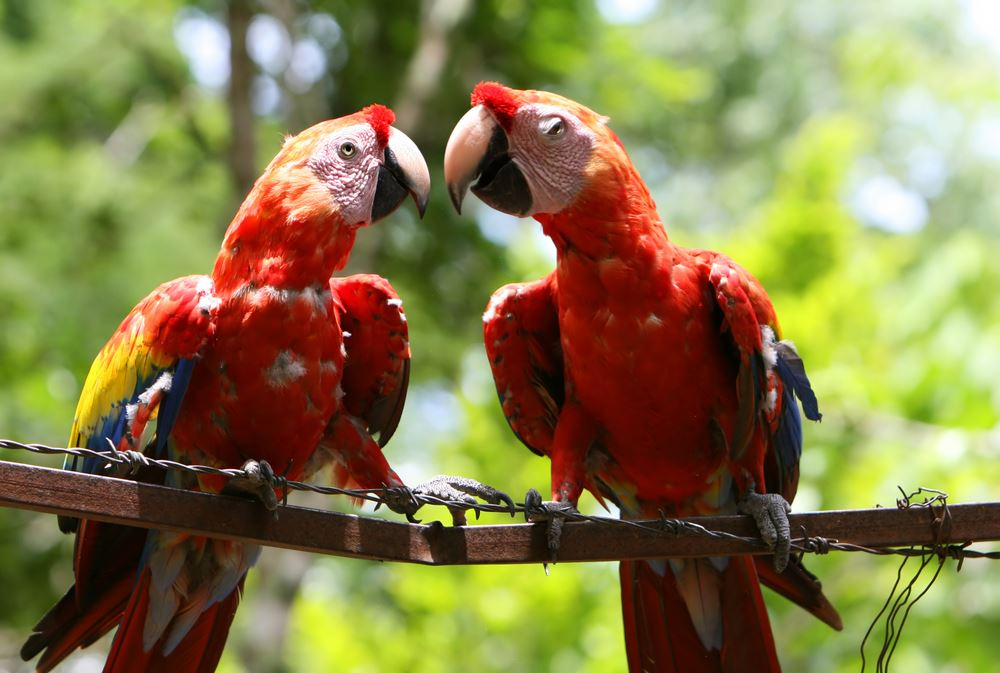 Amazon Tours Scarlet Macaws