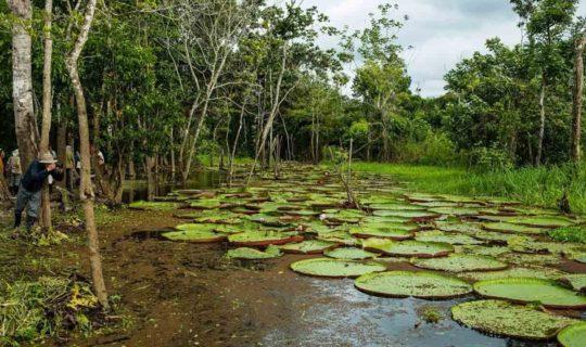 Amazon Rainforest lilies