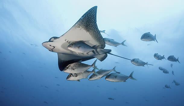 sting rays swimming