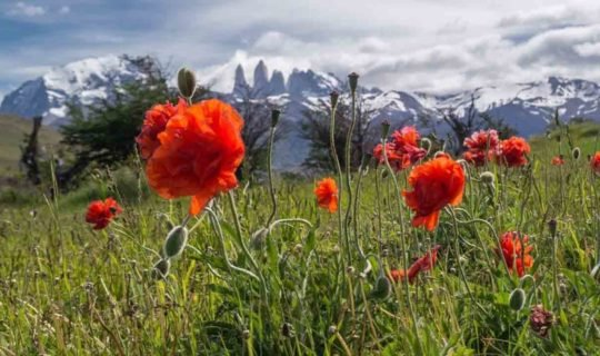 wild-flowers-in-patagonia-with-mountains-behind