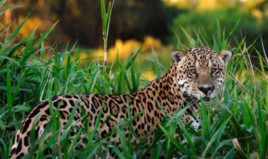 Pantanal-Jungle-Tours