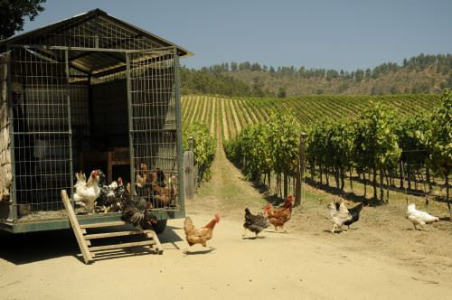 Chickens helping out in the biodynamic process