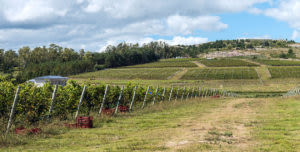 Vineyard stretching out over hill