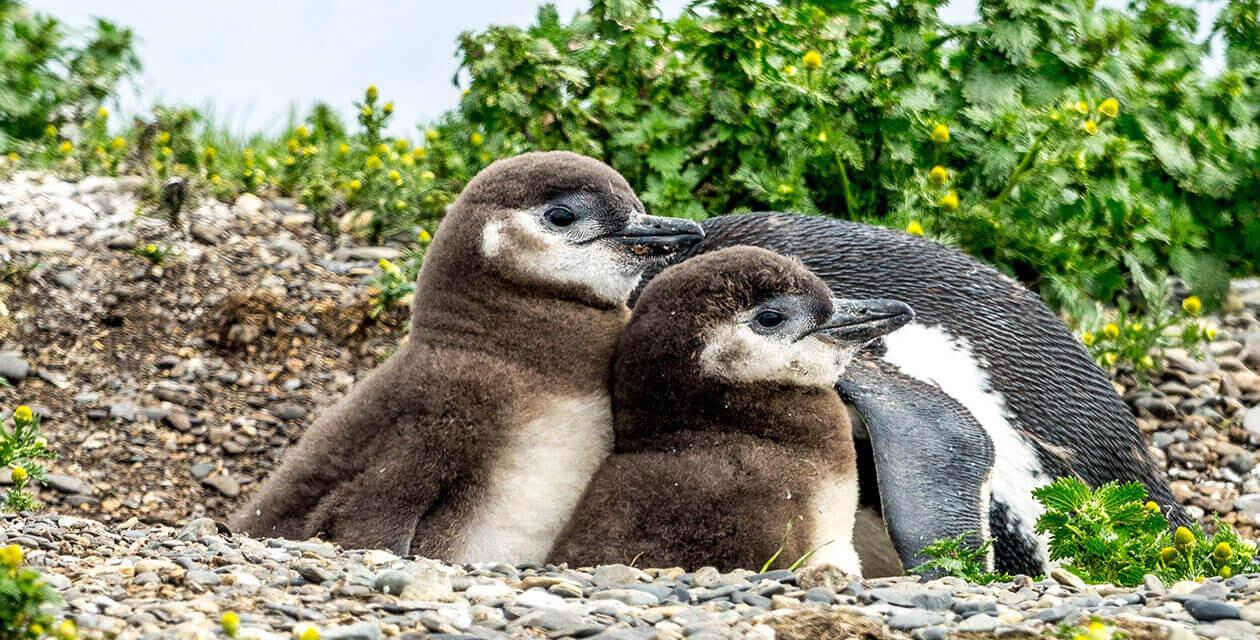 Baby penguins sitting in nest