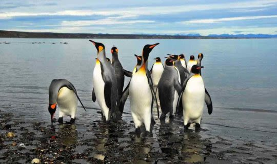 Penguins in the water in Patagonia