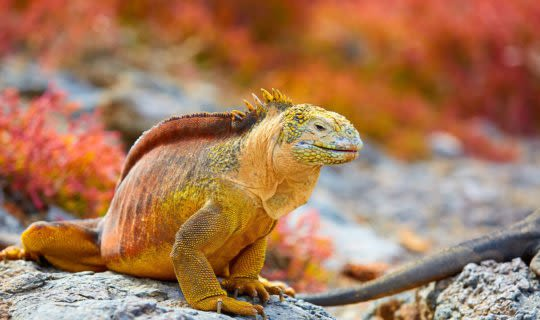 red Iguana on rocky shore