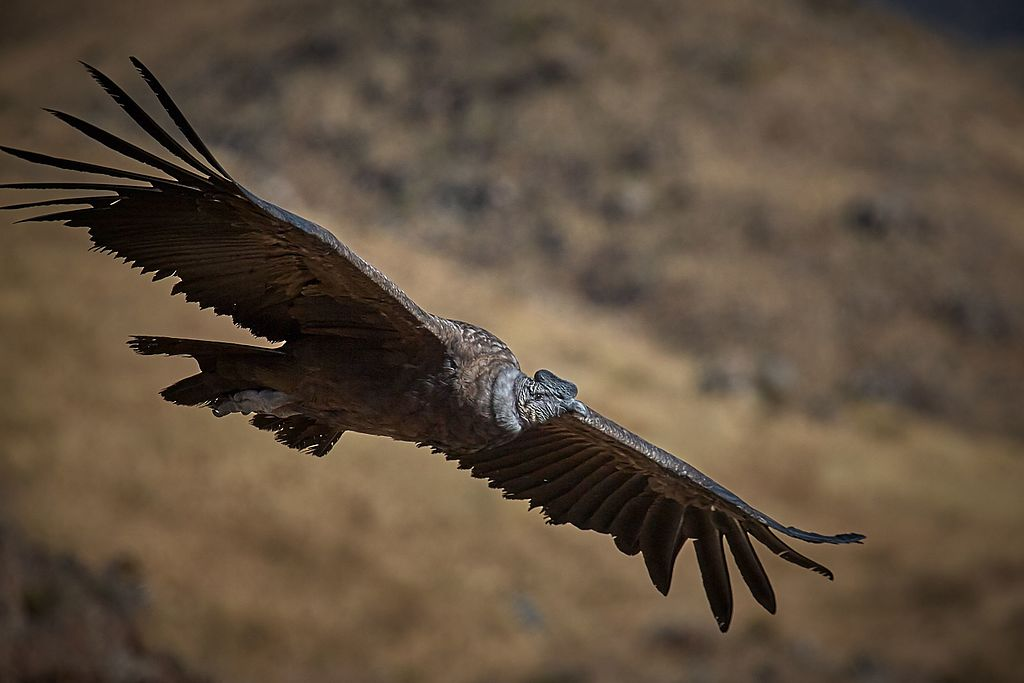 Andes Condor in Flight in Southern Peru