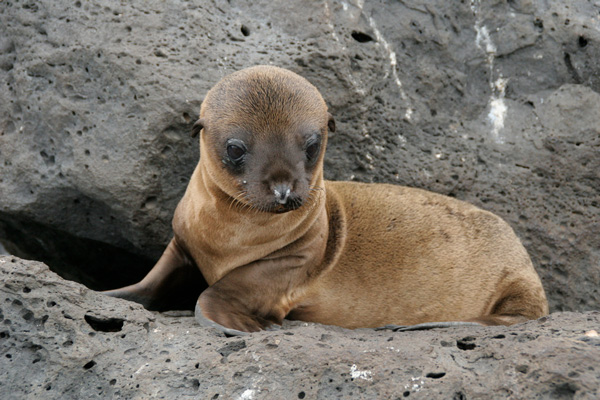 A Galapagos Sea Lion, Photograph by Michael R Perry
