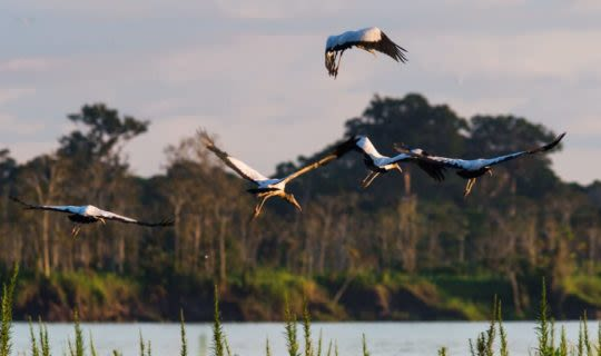 Condors flying over the Pantanal Wetlands