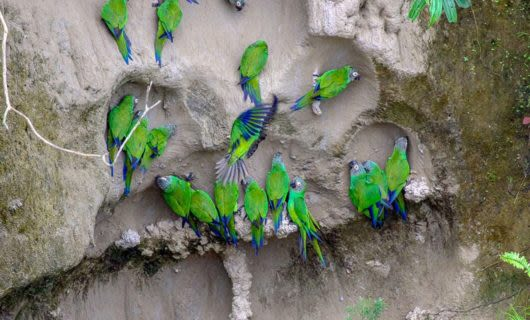 Blue Headed Macaws licking clay