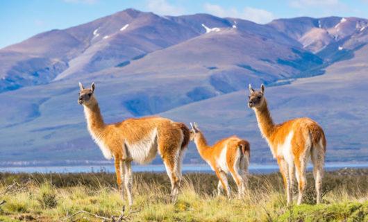 Wildlife of Patagonia in Torres Del Paine