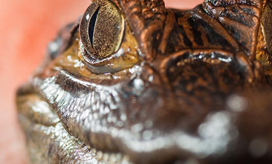close-up-view-of-caiman