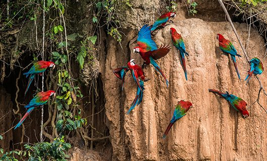 a-large-group-of-macaws-clay-licking