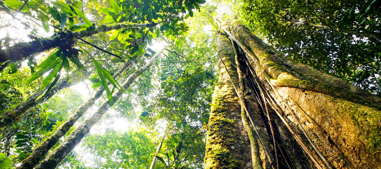 View upward through Amazon rainforest