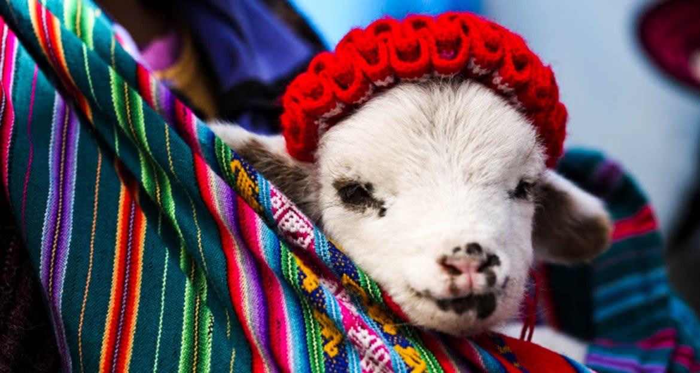 Baby goat wearing knit hat rests in hammock