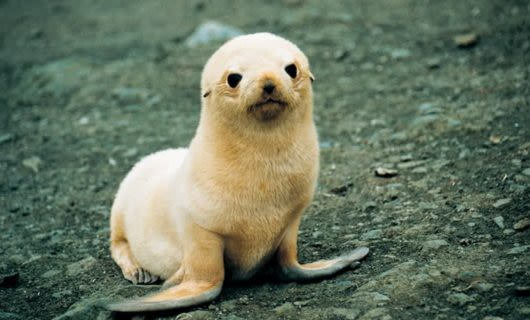 Fluffy baby seal sits on rocky ground