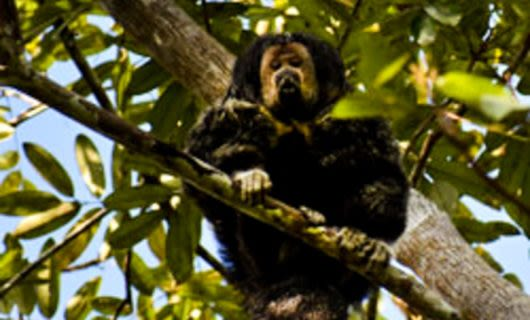 Black tamarin sitting on tree branch