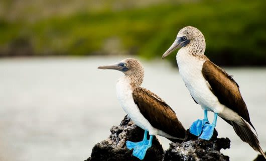 Two blue-footed boobies sit on rocks