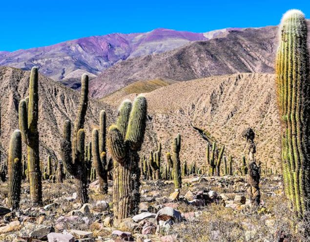 Cacti in front of desert mountains