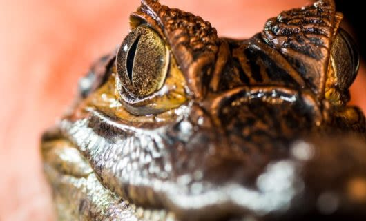Close up of Caiman Alligator