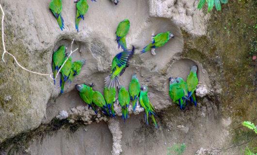 Beautiful green exotic birds doing clay lick