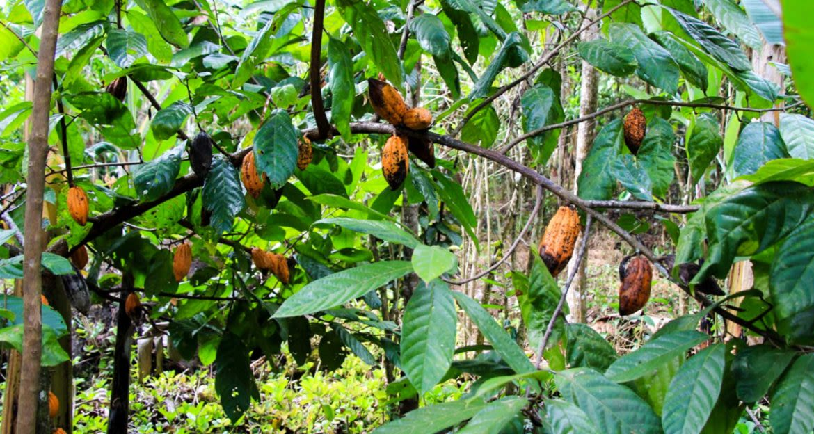 Cocoa beans on vine