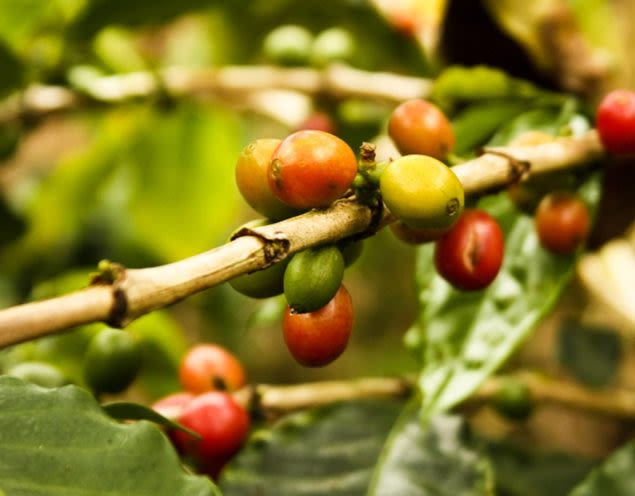 Close up of red and green coffee berries on plant vine