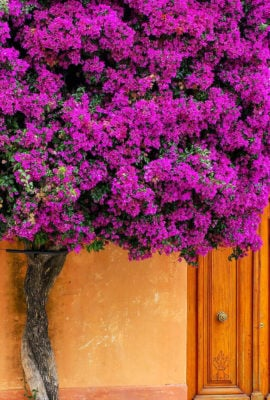 Flowering tree in front of the house in Colonia del Sacramento