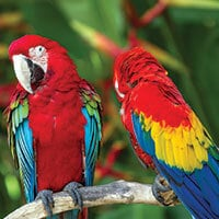 two colorful toucans in the Amazon Rainforest