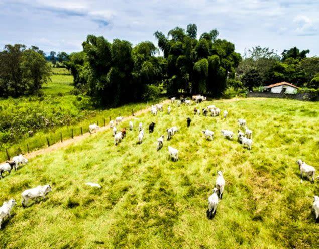 Cows walk across field in Brazil