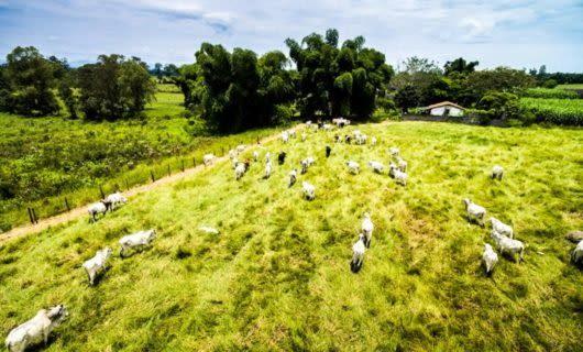 cows grazing in field