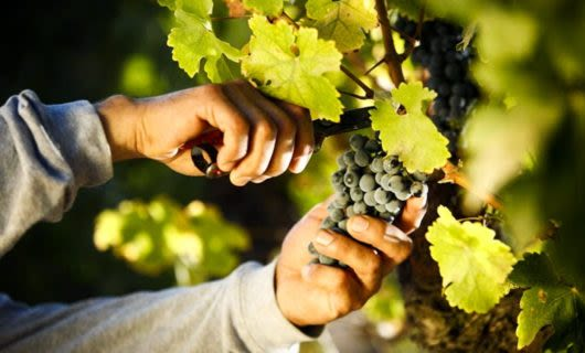 Close up of hands cutting grapes off vine