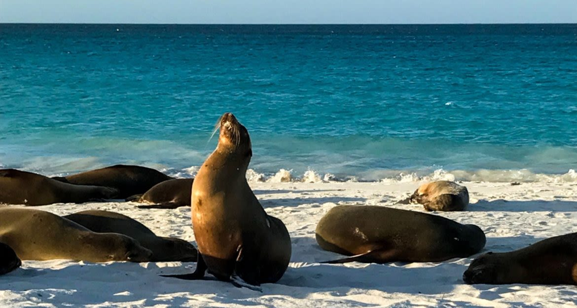 Seals relax on Ecuador beach
