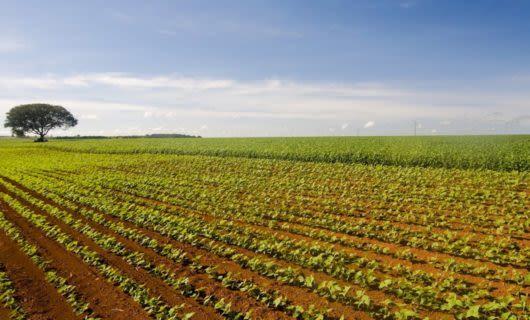 View of lone tree across Brazil field