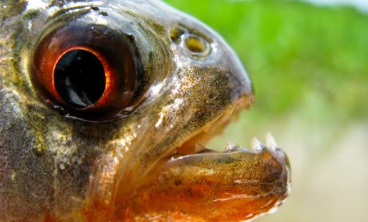 Close up of fish mouth and eye