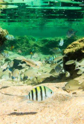 Striped fish swim underwater in Fernando de Noronha