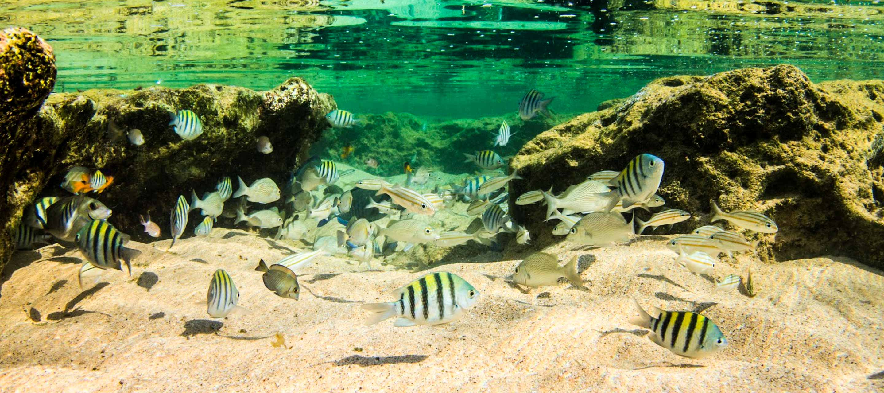Striped fish swim underwater in Fernando de Noronha
