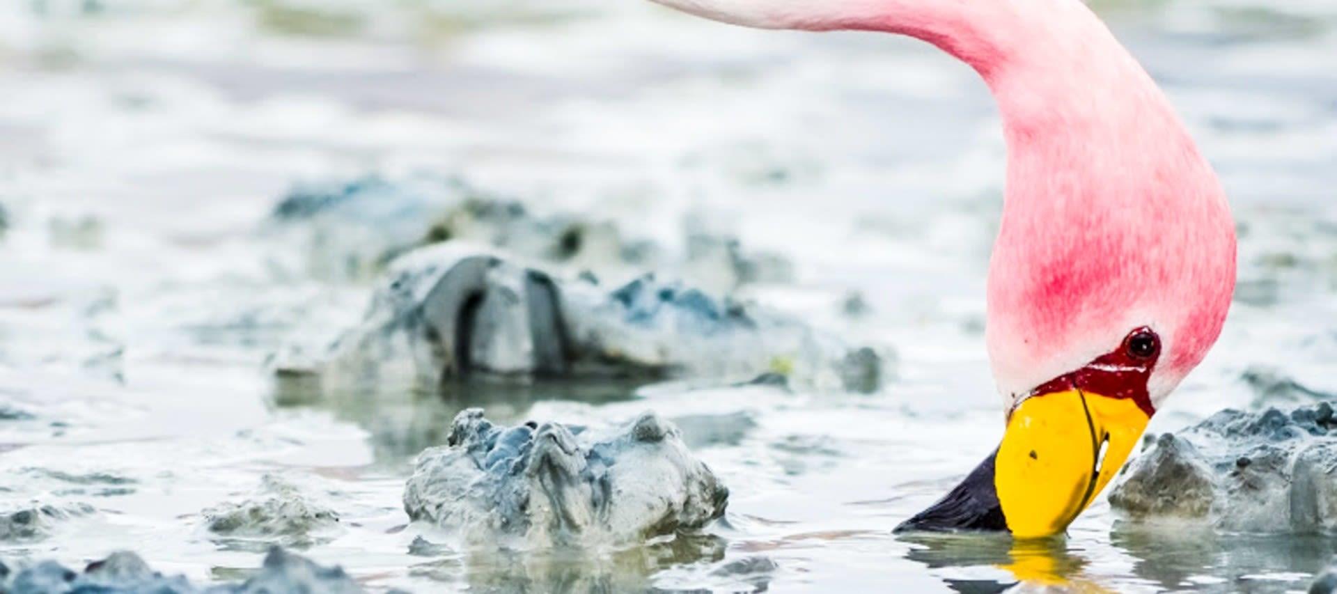 Flamingo sticks beak into mud of Bolivia