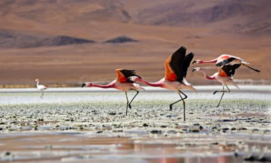 Flamingoes walk across wet ground
