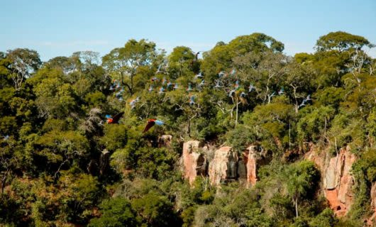Flock of birds fly past forested cliff