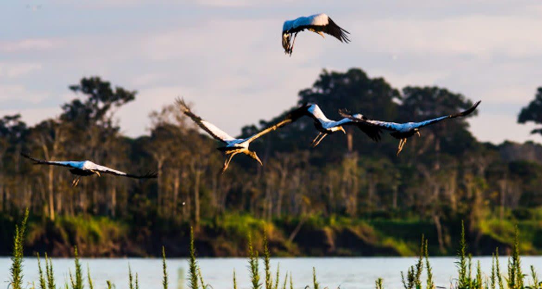 Birds fly over wetlands in Brazil