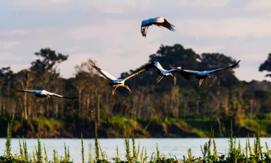 Birds fly over wetlands in Brazil