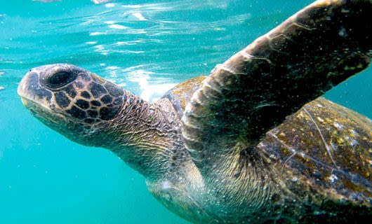 Close up of turtle underwater in the Galapagos