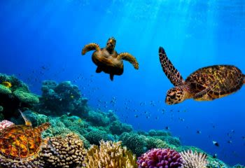 Turtles swimming underwater in the Galapagos Islands