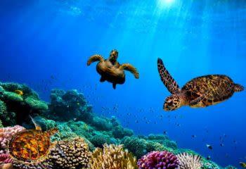 Turtles swim underwater in the Galapagos