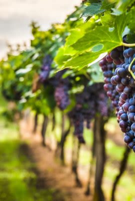 Grapes hanging in vineyard in Peru