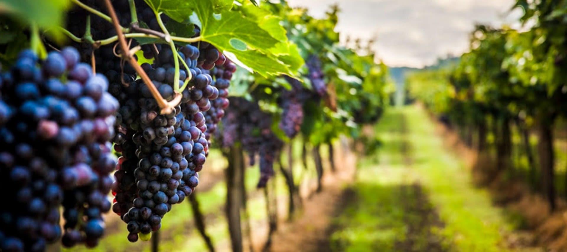 Grapes hanging in vineyard in Peru