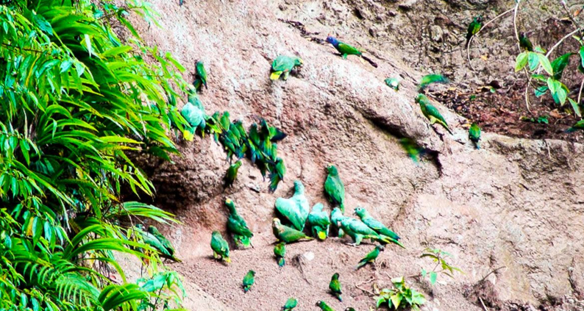 Green parrots on rock wall