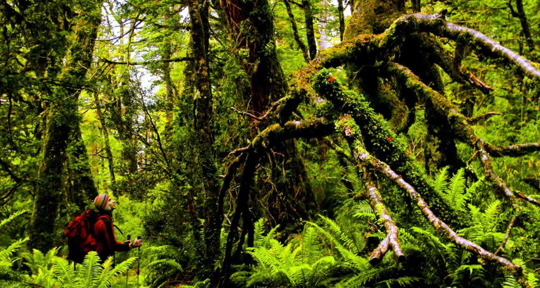 Hiker looks up at large jungle tree